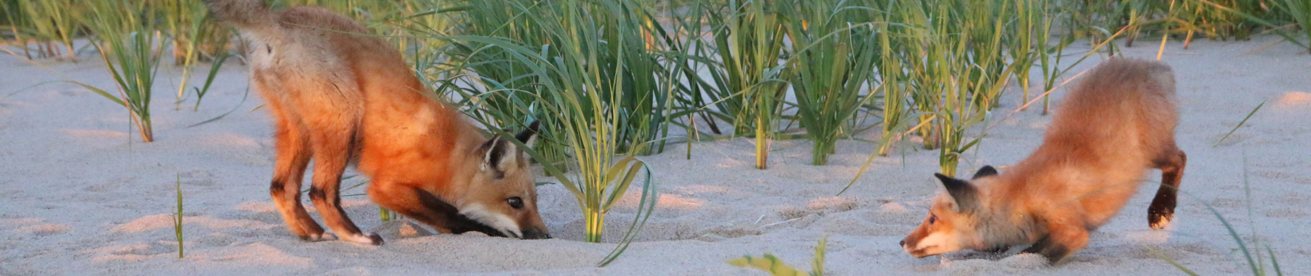 Foxes playing on the beach